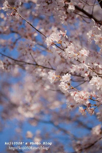 大和市の千本桜