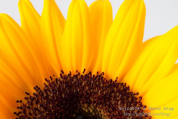 Rising sun 初春の向日葵 photo by koji0508